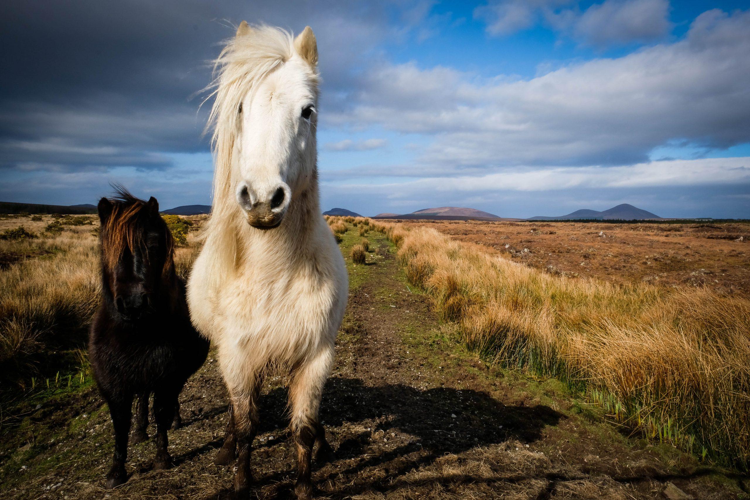 connemara-ponies-fiona-madden-photography