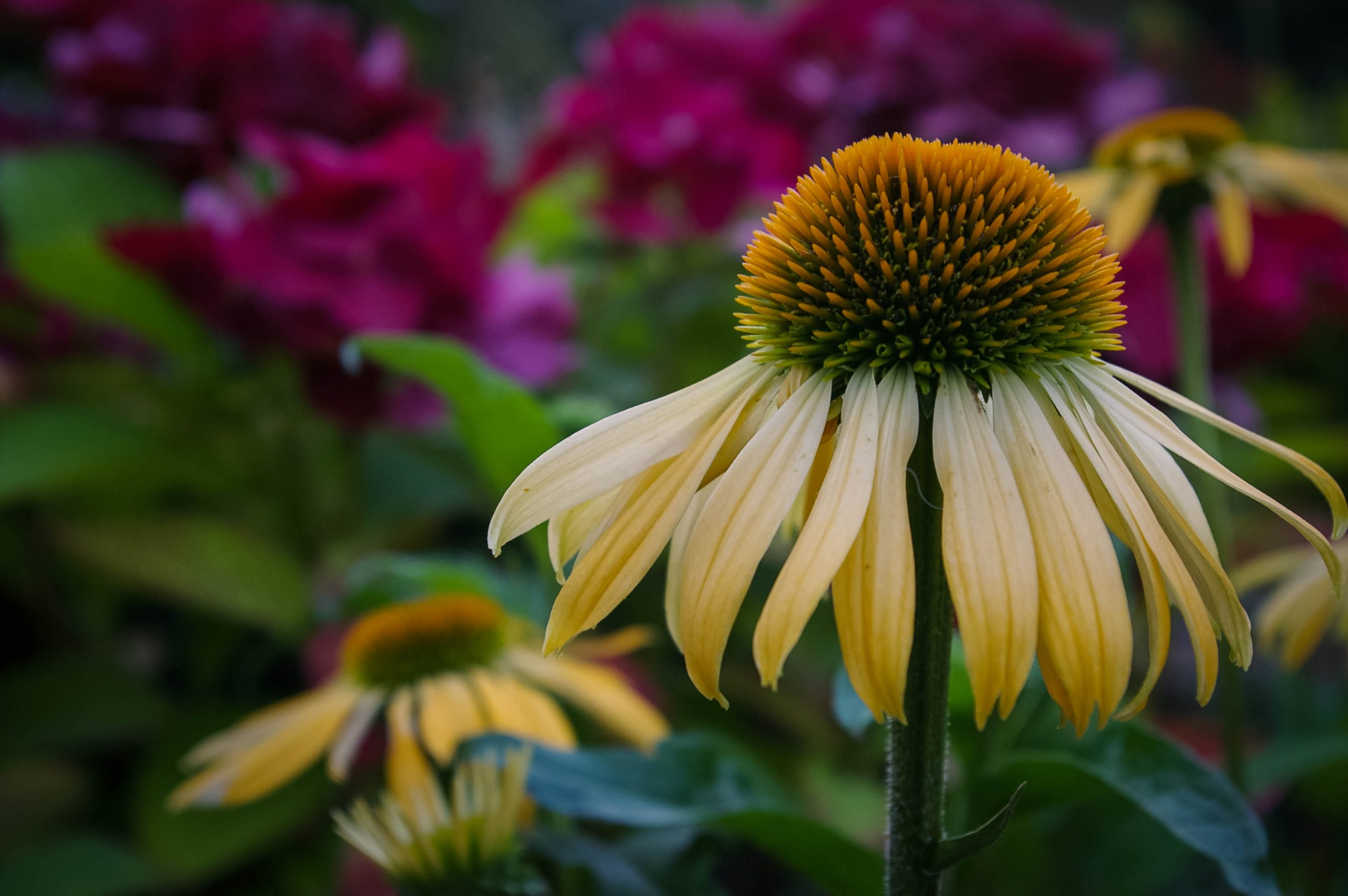floral-yellow-daisy-fiona-madden-photography
